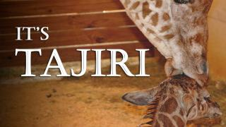 That Baby Giraffe Is Now Named 'Tajiri,' But Not For The Reason You're Hoping